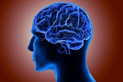 En hjernebark.