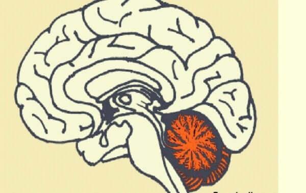 Plasseringen av lillehjernen i hjernen.