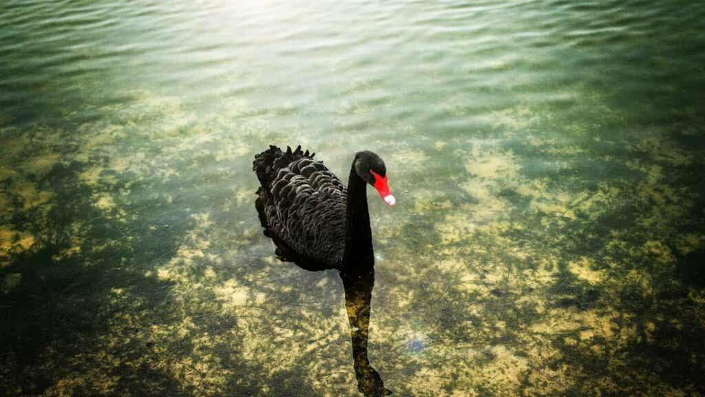 I komplekse tider, forberedte sinn: svarte svaner har alltid vært der