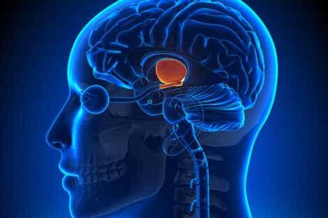 Hypothalamus i hjernen