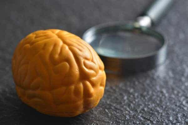 Hvorfor har hjernen to halvdeler?