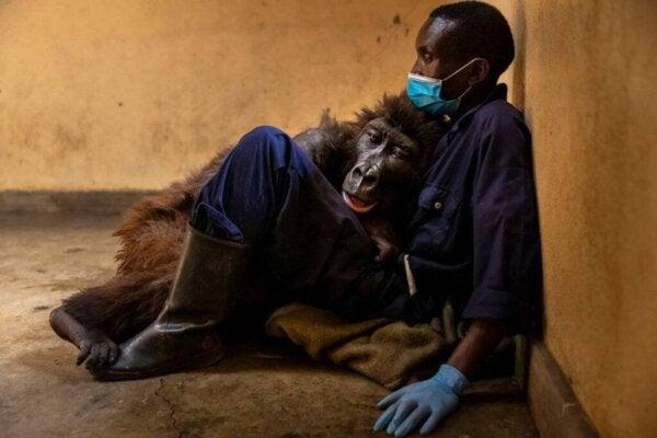 Gorillaen Ndakasi forlater denne verden i armene til dyrepasseren sin